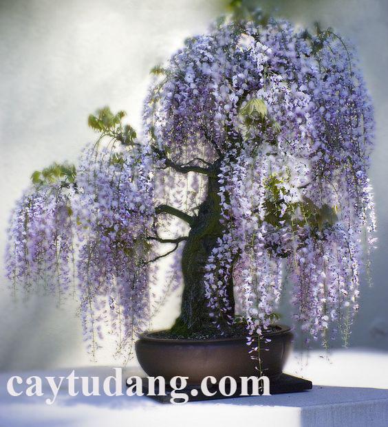 Cây tử đăng bonsai