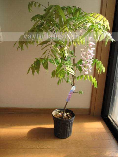 Cây wisteria