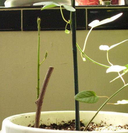 Gieo hạt giống hoa wisteria