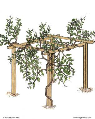 Trước khi tỉa wisteria