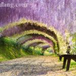 Công viên hoa Fuji Ashikaga
