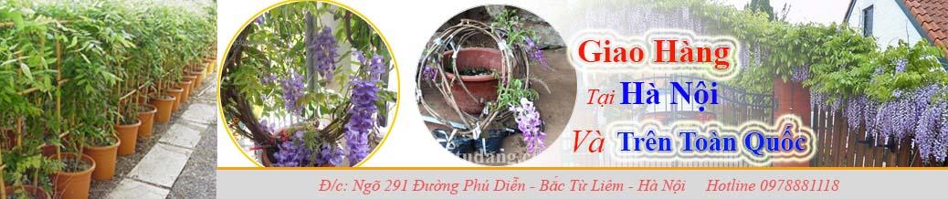Bán cây tử đằng tại Hà Nội và trên toàn quốc