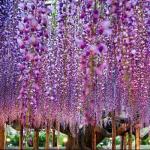 Cây hoa tử đằng hơn trăm tuổi, tán rộng bằng cả trang trại