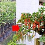 Giống Cây Lộc Vừng Hoa Đỏ