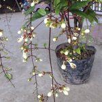 Cây Dạ Ngọc Minh Châu