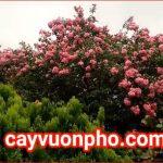 Giống Cây Tường Vi Hoa Đỏ – Hồng Siêu Đẹp